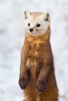 Curiously Cute Pine Marten ~ The American marten is a long, slender-bodied weasel with relatively large rounded ears, short limbs, and a bushy tail. It has a roughly triangular head and sharp nose. Its long, silky fur ranges in color from pale yellowish buff to tawny brown to almost black. Its head is usually lighter than the rest of its body, while the tail and legs are darker. The Am. marten usually has a characteristic throat & chest bib ranging in color from pale straw to vivid orange.