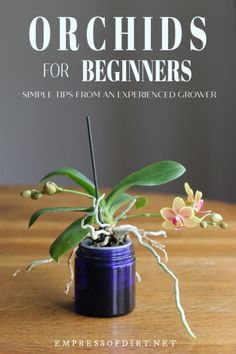 How to get started growing orchids as houseplants with tips from a lifelong orchid grower. Keep it simple and find out how to enjoy these flowering plants. A lifelong orchid grower shares her best tips for growing healthy, beautiful orchids at home. Indoor Orchids, Orchids Garden, Orchid Plants, Garden Plants, Flowering Plants, How To Plant Orchids, Phalaenopsis Orchid, Plants Indoor, Orchid Repotting