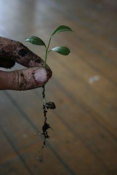 lemon seedling roots