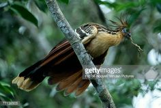 Stock Photo : Hoatzin (Opisthocomus hoazin) adult with a twig in its beak for building a nest, Guyana, South America
