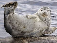 Saimaannorppa, Saimaa ringed seal.   They are among the most endangered seals in the world.