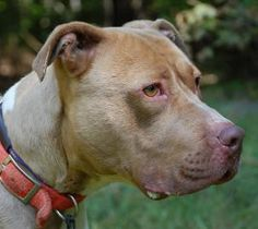 2 / 25    Petango.com – Meet Chadwick, a 7 years 7 months Terrier, Pit Bull / Mix available for adoption in BLOOMFIELD, CT Contact Information Address  188 Rescue Lane, BLOOMFIELD, CT, 06002  Phone  (860) 519-1516  Website  http://www.thesimonfoundation. org  Email  Stephanie.Ferguson@thesimonfou ndation.org