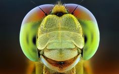 A closeup macro photo by Shikhei Goh of a dragonfly that looks as if it is smiling for the camera