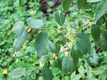 Buxus - Wikipedia, the free encyclopedia