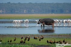 The iSimangaliso Wetland Park was listed as South Africa's first World Heritage Site in December 1999 in recognition of its superlative natural beauty. Rwanda Travel, Africa Travel, South Afrika, Amazing Animals, Wetland Park, Bay Lake, Kwazulu Natal, Out Of Africa, Mundo Animal