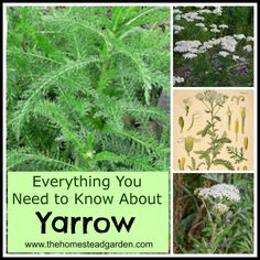 Herbal Medicine Everything You Need to Know About Yarrow - Yarrow (Achillea millefolium) is a tough, hardy perennial as well as a potent medicinal herb. Learn how to grow and use yarrow for your home. Healing Herbs, Medicinal Plants, Yarrow Plant, Achillea Millefolium, Edible Wild Plants, Homestead Gardens, Herbs For Health, Hardy Perennials, All Nature