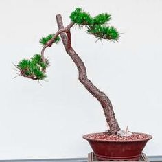 pin it for later. In this Japanese bonsai tree design, the tree may be expanding in locations that are densely occupied by several other trees People Around The World, Around The Worlds, Japanese Bonsai Tree, Above The Rim, Bonsai Tree Types, Waterfall Design, Bonsai Styles, Root System, How To Grow Taller