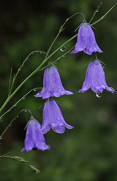 Purple Campanula [Bell Flower] For Cottage Garden – Start A Easy Backyard Project - HoliCoffee Amazing Flowers, Purple Flowers, Wild Flowers, Beautiful Flowers, Exotic Flowers, Rain Flowers, Blue Bell Flowers, British Flowers, Fresh Flowers