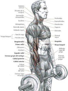 Curl de bíceps con barra y agarre en pronación