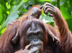 See female Bornean orangutan, Dam, with her newborn son, Veera, at the Singapore Zoo (AFP - Getty Images)