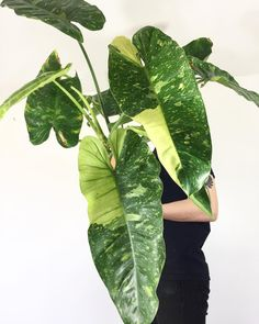 Excited to share this massive Philodendron imbe variegata for #philodendronfriday ✨