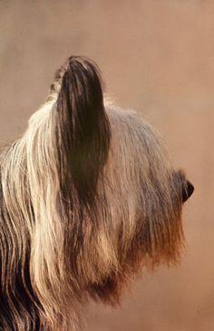 Skye Terrier, Jacinthe de Ricelaine, 1964 Terrier Breeds, Terrier Dogs, Terriers, Skye Terrier, Pet Dogs, Dogs And Puppies, Unusual Dog Breeds, Dandie Dinmont Terrier, Westminster Dog Show