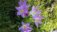 Krokus. Spring. Blumen. Frühling