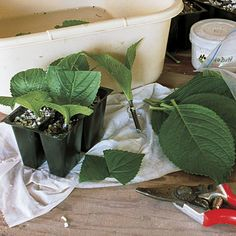 How to propagate shrubs from softwood cuttings - With the right tools and conditions, it's easy to propagate new plants from softwood shoots