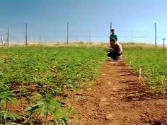 As long as those who own the big companies, such as : oil, soap, cotton, bricks and the rest of them, to whom hemp is a market tlhreat rule, hemp will never gain its way into the world.