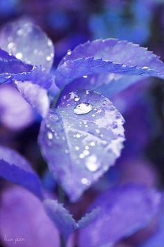 Purple leaf  -Sarah