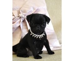 I love this baby!!! Someday I would like a black pug rather than fawn. What a sweet lil face