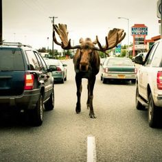 Only in Alaska.... I love this place <3  Even if the moose insist upon walking against traffic! LOL