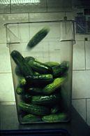 Quick Salt Pickles momofuku  3 sugar : 1 kosher salt