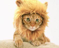 Y ahora, peluca de leoncito para gatitos, con orejitas »  No Puedo Creer