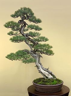 2018 Nippon Bonsai Taikan Exhibition Part 1 Bonsai Wire, Bonsai Tree Types, Bonsai Styles, Single Tree, Bonsai Garden, Natural World, Greenery, Pine, Nature