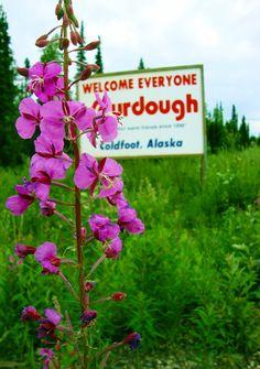 Fireweed, Coldfoot, Alaska.