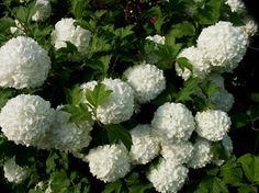 lumipalloheisi Shrubs, Perennials, Trees, Vegetables, Garden, Flowers, Plants, Garten, Tree Structure