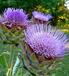 Droge tuin: kies planten die lang zonder water kunnen - Seasons