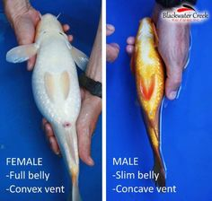 This article will show you how you can easily tell the gender of your koi fish! Click/Tap to read now or pin it for later! Koi Fish Care, Tropical Fish, Tropical Gardens, Tropical Landscaping, Koy Fish, Fish Pond Gardens, Goldfish Pond, Aquarium Fish, Nature Aquarium