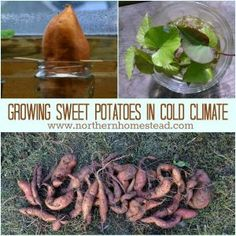Growing sweet potatoes in cold climate. We cover how to make your own slips, plant and harvest a sweet potato.