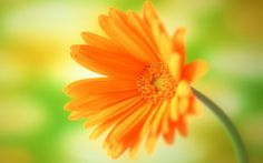 sunshine yellow One Single Flower Wallpapers and Images