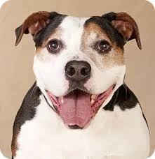 Image result for beagle mix