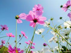 Autumn Flowers : Cosmos Flowers