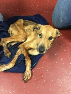 Severely Emaciated, Mistreated And Neglected! Major Needs You To Be His Voice! He Needs Justice!