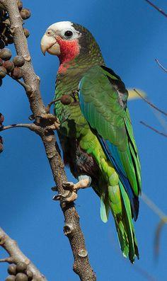 La Cotorra Cubana, actualmente en peligro de extinción. La amazona cubana, nombre científico (Amazona leucocephala). Existen cuantro subespecies