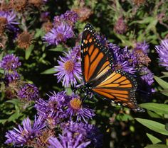 I love it when the deep purple of New England Aster shows up in the ditches along the roads. We haven't seen many monarch butterflies this year. I wonder why. We have more milkweed growing here than ever.