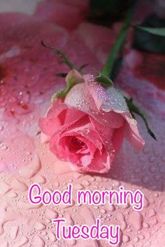 Good Morning Tuesday Pink Rose good morning tuesday tuesday quotes good morning quotes happy tuesday tuesday blessings happy tuesday quotes good morning tuesday good morning quotes for friends and family tuesday blessings quotes inspirational tuesday quotes