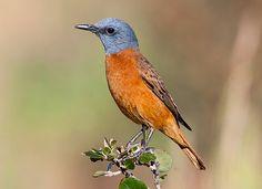 Cape Rock Thrush male