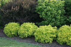 Proven Winners - Sunjoy® Citrus - Barberry - Berberis thunbergii yellow plant details, information and resources. Landscape Borders, Landscape Plans, Green Landscape, Landscape Designs, Contemporary Landscape, Landscaping Supplies, Landscaping Software, Landscaping Plants, Landscaping Ideas