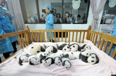 Everyone say, awwwww! Fourteen tiny panda cubs were on full display at China's Chengdu Research Base for Giant Panda Breeding on Monday.