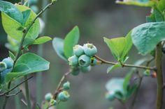 Planta do mirtilo com frutos