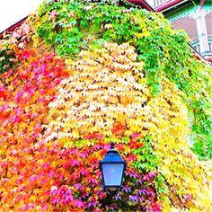 Beautiful World, Beautiful Gardens, Beautiful Flowers, Beautiful Places, Bonsai, Boston Ivy, Virginia Creeper, Ivy Plants, Deco Floral