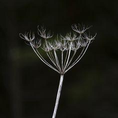 Contrasten en details, dat is waar ik naar op zoek ben in mijn werk en de natuur geeft mij deze, kwestie van stilstaan en kijken. #natuur #fotografie #details #textuur #kunst #art #foto #interieur #wanddecoratie #werkaandemuur #photography #nature #texture #macro #fineart #webshop #dibond Dandelion, Flowers, Nature, Plants, Art, Kunst, Art Background, Naturaleza, Dandelions