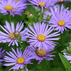 Aster nain d'automne bleu fonce 'Lady in Blue'