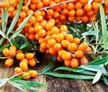 Asians and Europeans eat these bright orange fruits as a juice (sweetened with grape or apple juice) and in pies and jams. Even Russian cosmonauts have been given the berries to eat while in orbit. Sea-buckthorn berries contain high levels of antioxidants, vitamin C, vitamin A, vitamin E, and healthy oils.