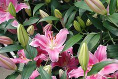 #bot #flowerbulbs #lilium #flower #bulbs #bulbos #lirio #lirios #variedades #bubos #holanda #bloembollen #bloemen #bollen #bulbs #exporter #exporteur #floriculture #flowers #gladioli #gladiool #horticulture #iris #lelie #lily #preparation #prepareren #irissen #Andijk #collection #keurmerk #oriental #asiatic #la #ot #holland #greenhouse