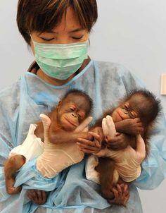 July Bornean orangutan twin boy and girl born in Hong Kong zoo.too cute! Cute Creatures, Beautiful Creatures, Animals Beautiful, Cute Baby Animals, Animals And Pets, Funny Animals, Animals Photos, Wild Animals, Bornean Orangutan