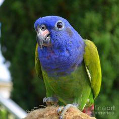 Blue Headed Pionus Parrot. Parker when he grows up