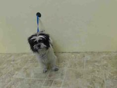 Brooklyn Center  SHORTY - A0998473  FEMALE, BLACK / WHITE, SHIH TZU / MALTESE, 6 yrs STRAY - STRAY WAIT, NO HOLD Reason STRAY Intake condition NONE Intake Date 05/02/2014, From NY 11208, DueOut Date 05/05/2014, https://www.facebook.com/photo.php?fbid=796949133651301&set=a.617941078218775.1073741869.152876678058553&type=3&theater