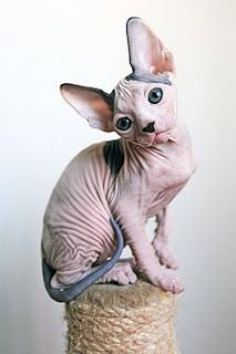 Sphnyx the so called hairless cat ranked as the 10th most popular cat breed according to the most registered cat breed statics.Sphnyx cats have big eyes and pointed ears.The normally have some hairs on face or on their tails.Sphnyx cats that we know today are affectionate,energetic and playful.